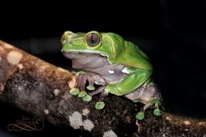 Macam macam jenis Poison Dart Frog (katak panah beracun)