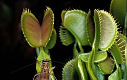 Tanaman Pemakan Serangga yangIndah