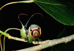 Mimikri Serangga : Kepompong MiripUlar